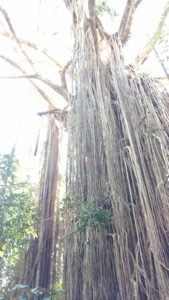 árvore gigante em Cairns