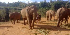 Elefantes no santuário após serem resgatados de ambientes hostis